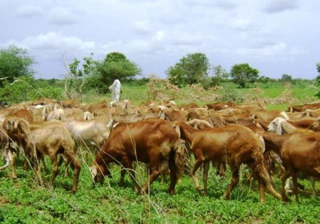 تأثر الرعاة بأحداث الجنوب ومليون راس ماشية تعود للسودان