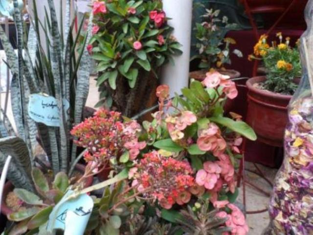 زهور السودان تتطلع إلى العالمية