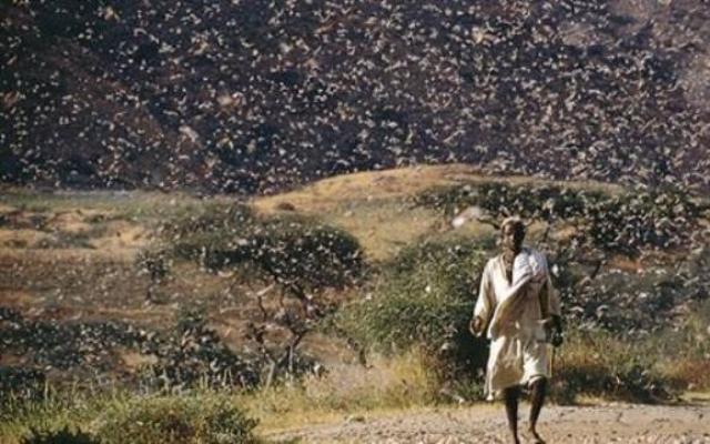 عشرات الإصابات بالحساسية نتيجة إجتياح الجراد والحشرات لكسلا