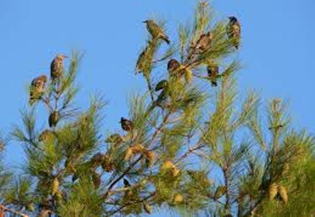 أسراب الطيور تهدد الموسم الزراعى بمنطقة مهاجرية