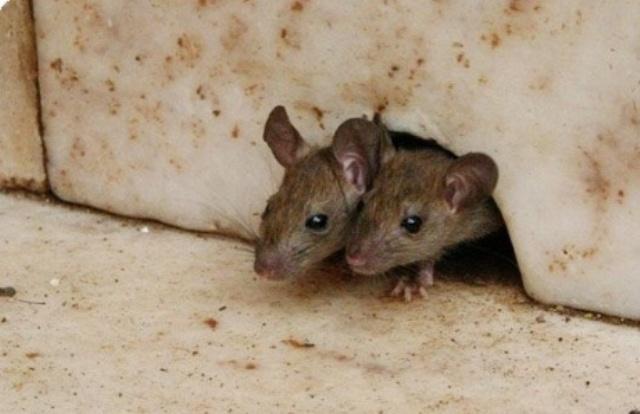 """السلطات تتهم """" جيوش الفئران""""  بتخريب جسر المنشية"""