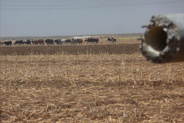 العطش يهدد القمح بالجزيرة وأصحاب الحاصدات يلوحون بالإضراب