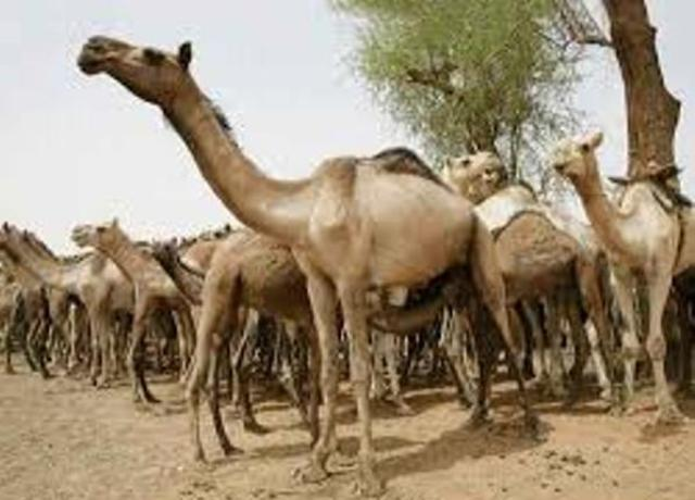 مصر تمنع دخول الإبل السودانية إلى اراضيها
