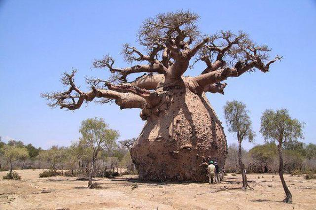 """التبلدي """"عملاق"""" يواجه خطر الانقراض في السودان"""