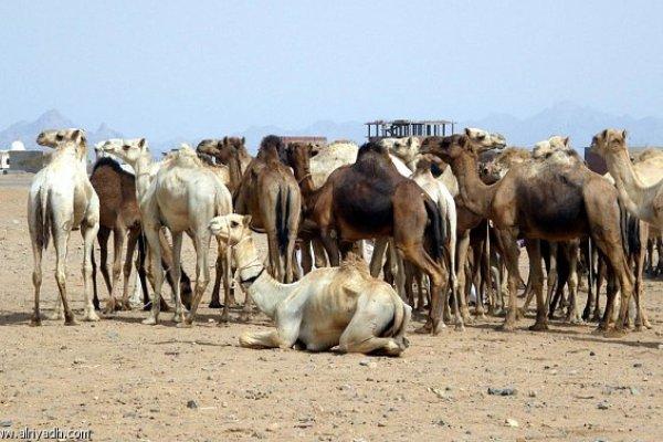 """مسؤول مصرى يتهم السودان بممارسة ضغوط على بلاده لاستقبال شحنة """"عجول"""""""