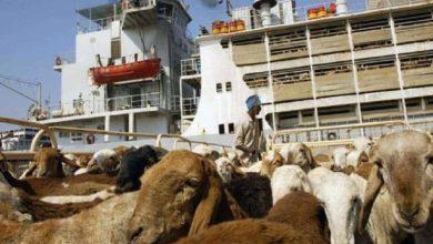 صورة اتفاق مع مصر يشترط عدم احتكار صادرات الماشية السودانية