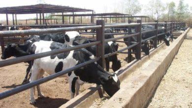 صورة تحذير من مصير قاتم لإنتاج الألبان في السودان